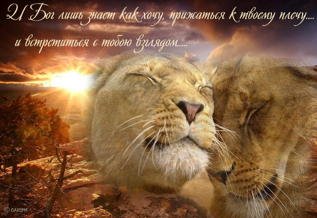Открытка львиное счастье